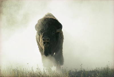 Running Bison Kicking Up Dust Art Print by Lowell Georgia