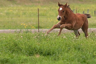 Photograph - Running Foal by Jim  Arnold