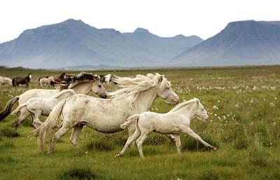 Wild Horse Photograph - Running Wild In Iceland by Gigja Einarsdottir