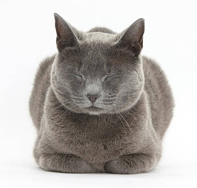 Photograph - Russian Blue Cat Napping by Mark Taylor