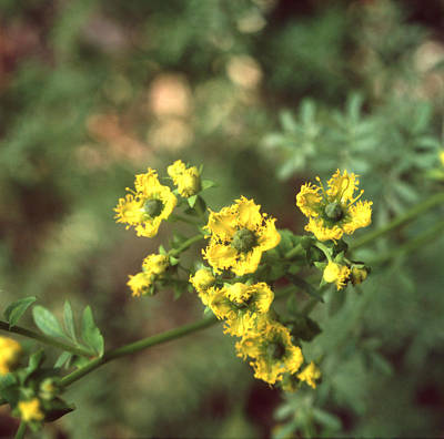 Photograph - Ruta Chalepensis Or Fringed Rue by Paul Cowan