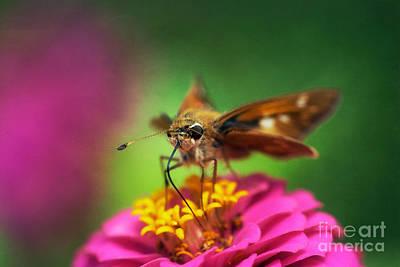 Animal Photograph - Sachem Butterfly Feeding by Susan Isakson