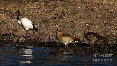 Photograph - Sacred Ibis And Egyptian Goose by Mareko Marciniak