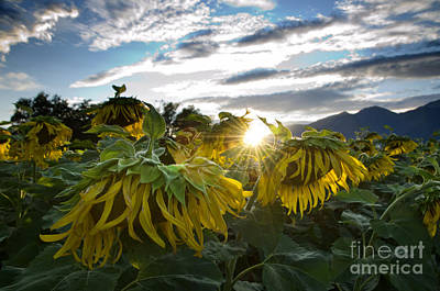 Sunflowers Photograph - Sad Sunflowers by Mats Silvan
