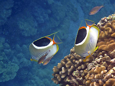 Photograph - Saddleback Butterflyfish by Bette Phelan