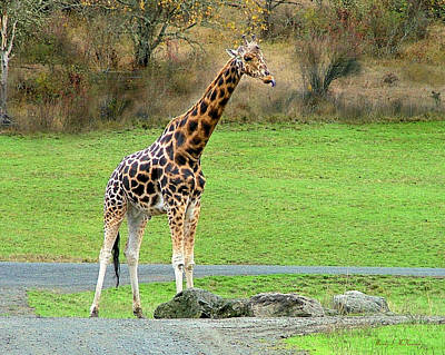 Safari Giraffe Art Print by Wendy McKennon