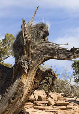 Porcupine Digital Art - Safe As Can Be by Dewain Maney