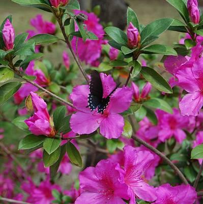 Butterfly Prey Photograph - Safe Landing by Judy Hall-Folde