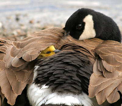 Goslings Painting - Safe Under Mamma's Wing by Melodie Douglas