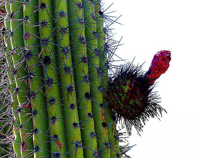 Photograph - Saguara Cactus With Flower Bud by Merton Allen