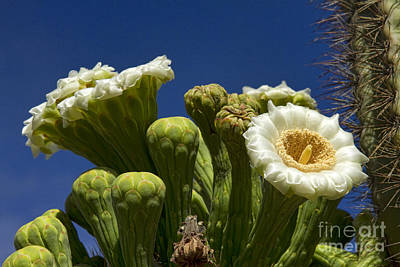 Photograph - Saguaro Cactus Blooms by James BO Insogna