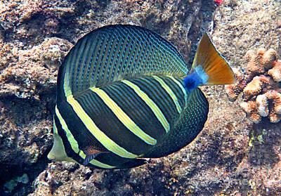 Hawaiian Fish Photograph - Sailfin Tang Expanded by Bette Phelan