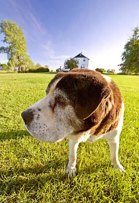 Cute Dogs Digital Art - Saint Bernard Dog On Hecla Island Manitoba by Mark Duffy