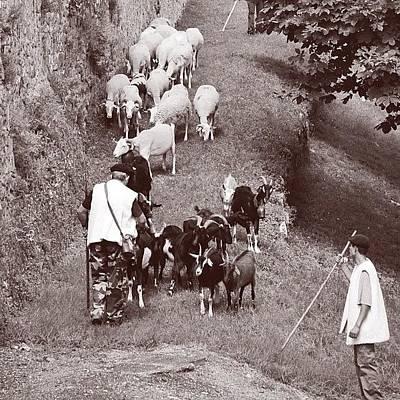 Sheep Photograph - Saint-bertrand-de-comminges, Petite by Val Lao