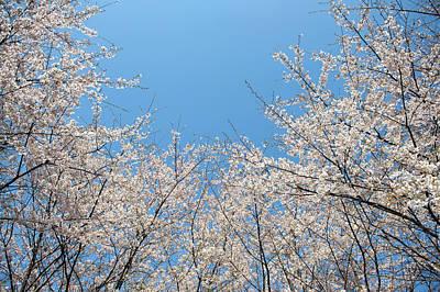 Cherry Blossoms Photograph - Sakura Blossom by Akimasa Harada