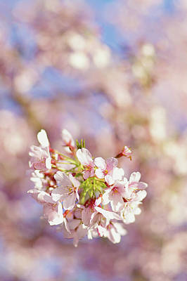 Sakura, Pink Cherry Blossom Tree Art Print by Bonita Cooke