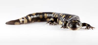 Photograph - Salamander Smile by John Crothers