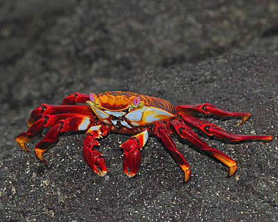 Photograph - Sally Lightfoot Crab by Tony Beck
