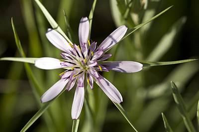 Salsify Wall Art - Photograph - Salsify (tragopogon Hybridum) by Paul Harcourt Davies