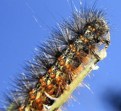 Photograph - Salt Marsh Caterpillar by Scott Hovind