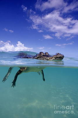 Salt Water Crocodile Art Print by Franco Banfi and Photo Researchers