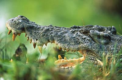 Saltwater Crocodile Crocodylus Porosus Print by Cyril Ruoso