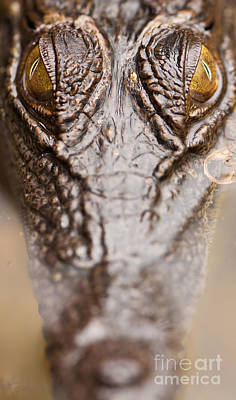 Nature Photograph - Saltwater Crocodile by Johan Larson