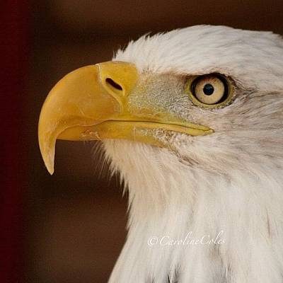 Ornithology Photograph - Sam The Bald Eagle #ornithology by Caroline Coles