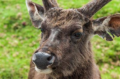 Photograph - Sambar Deer. Horton Plains National Park. Sri Lanka by Jenny Rainbow