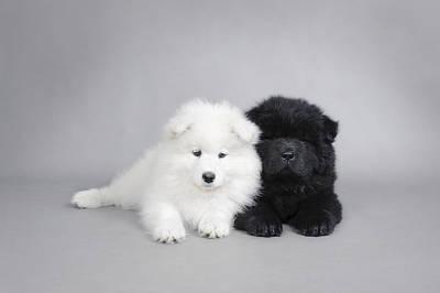 Newfoundland Puppy Photograph - Samoyed And Chow Chow Puppies by Waldek Dabrowski