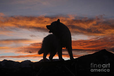 Samoyed Photograph - Samoyed At Sunset by Kent Dannen and Photo Researchers