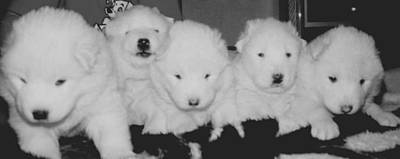 Samoyed Puppies Art Print by Tammy Sutherland