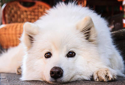 Y120831 Photograph - Samoyed Puppy by Feng Wei Photography