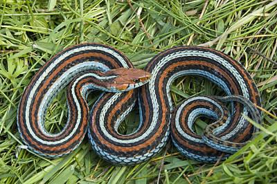 Garter Snake Photograph - San Francisco Garter Snake Pescadero by Sebastian Kennerknecht