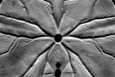 Photograph - Sand Dollar by Gene Hilton