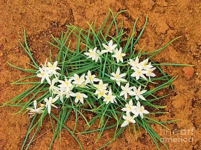 Photograph - Sand Lilies by Michele Penner