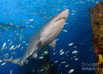 Aloha For Days - Sand Tiger Shark On Wreck Of Uscg by Karen Doody