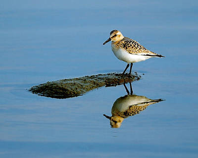 Sanderling Reflecting Print by Tony Beck