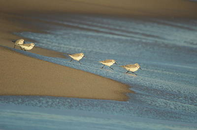 Photograph - Sanderlings Feeding by Gerald Hiam