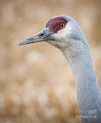 Photograph - Sandhill Crane IIi by Chris Dutton
