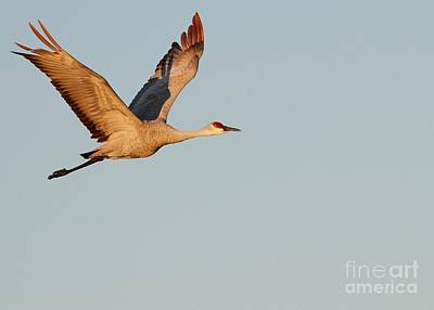 Photograph - Sandhill Crane In The Morning Light by Sabrina L Ryan