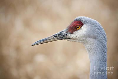 Photograph - Sandhill Crane Iv by Chris Dutton