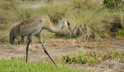- Sandhill Crane by Nancy Greenland