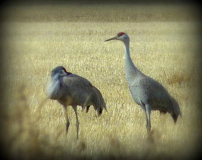 Photograph - Sandhill Crane Pair 2 by Cindy Wright