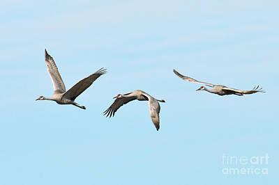 Photograph - Sandhill Cranes by Craig Leaper