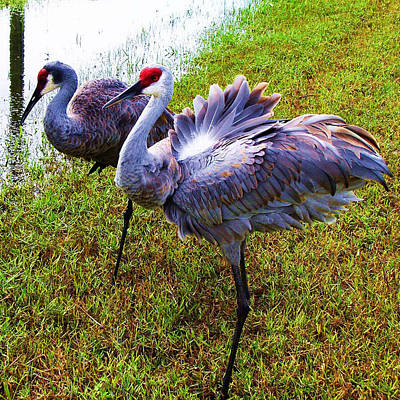 Sandhill Cranes-plumes In Bloom Art Print