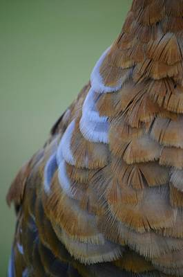 Photograph - Sandhill Male Feather Detail by Lynda Dawson-Youngclaus