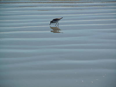 Photograph - Sandpiper On Sea Ripples by Nancy Griswold