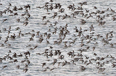 Art Print featuring the photograph Sandpipers In Flight by Dan Friend