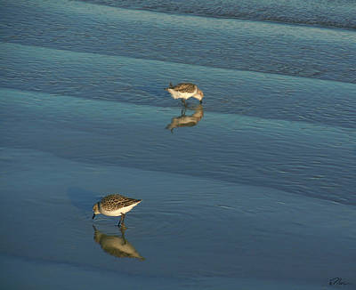 Photograph - Sandpipers Of Opposites by Nancy Griswold